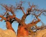 Baobab in Gweta