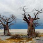 Baobabs in Nata