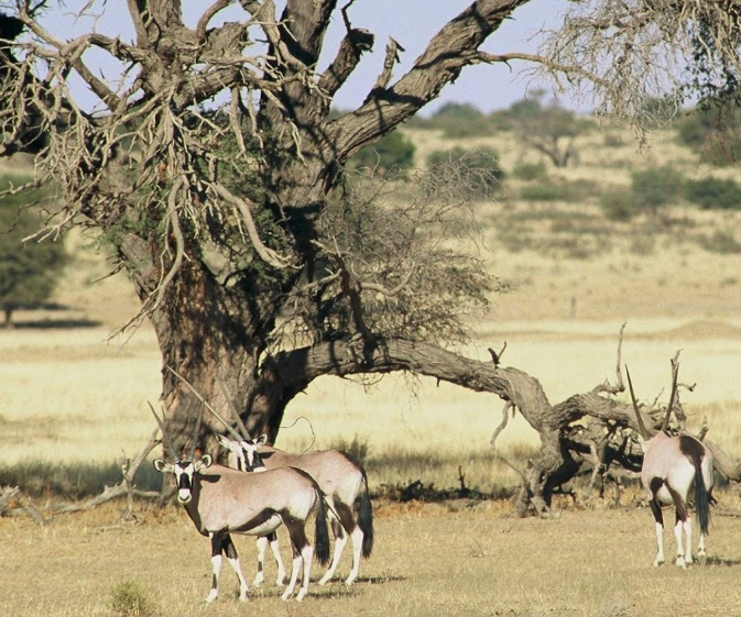 Wildlife in the desert region of the Kgalagadi