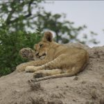 young lion lying on top of an ant hill